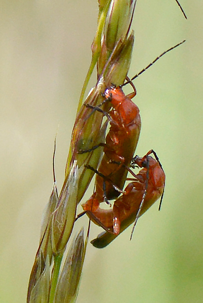Soldier Beetles?