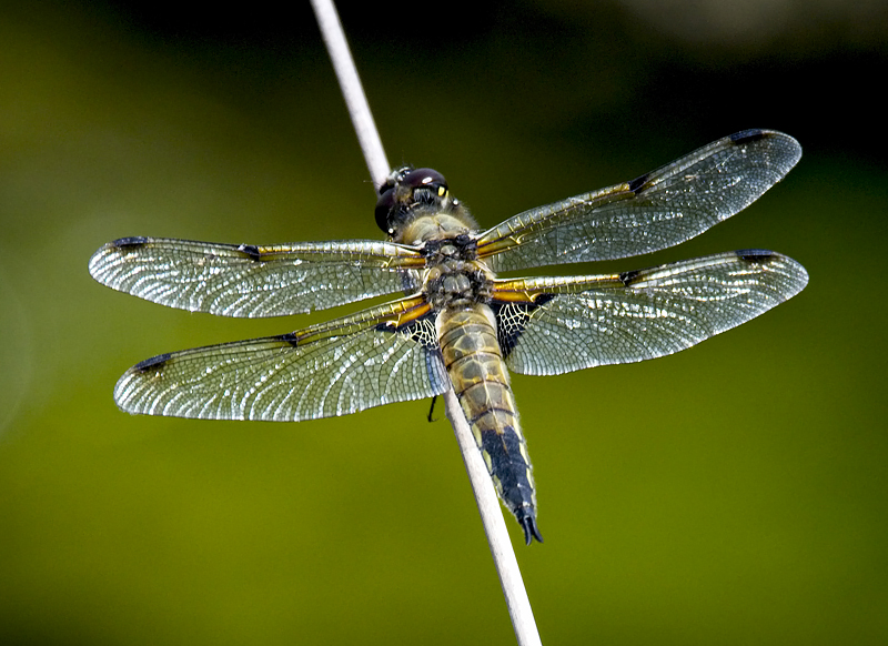 FourSpotted Chaser