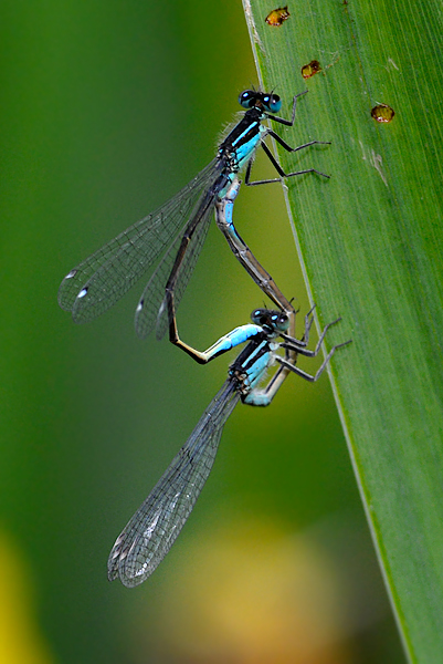 Blue Damsel Flies