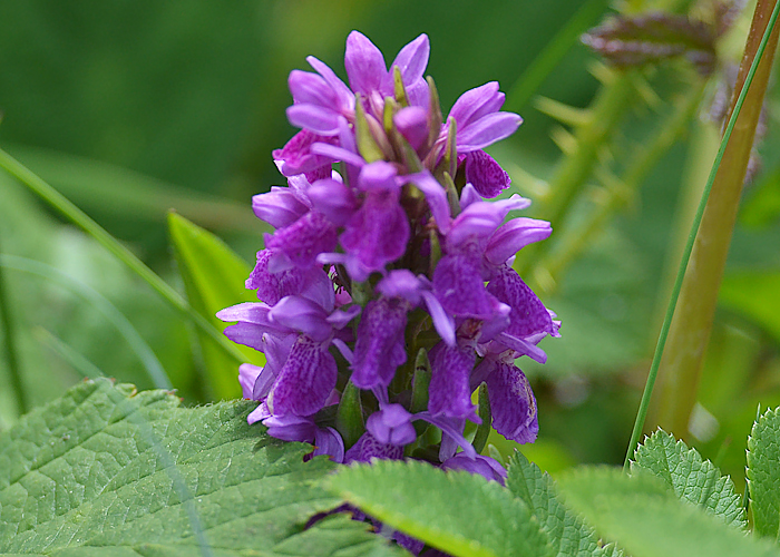 Wild Orchid - Inishboffin