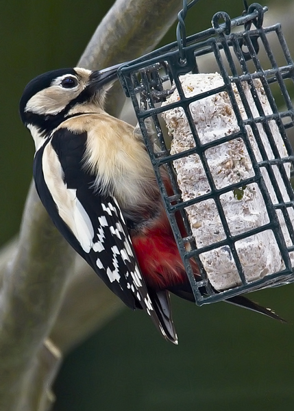 Female Greater Spotted Woodpecker