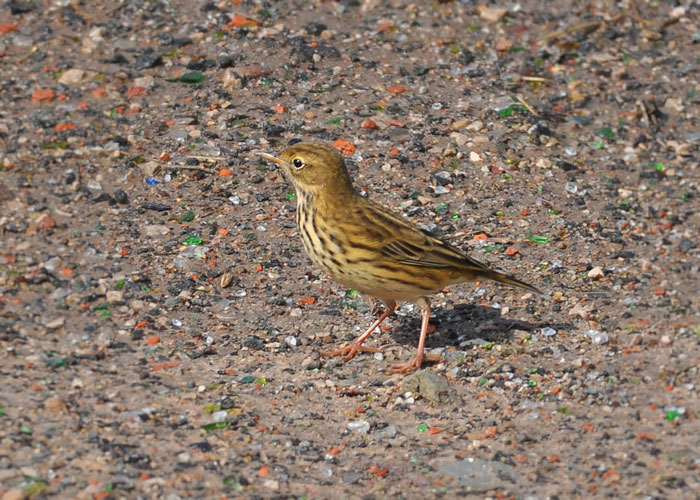 Maedow Pipit