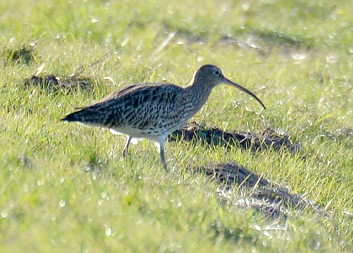 Distant Curlew
