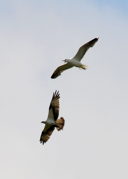 Osprey with fish being mugged by Greater Black Back Gull