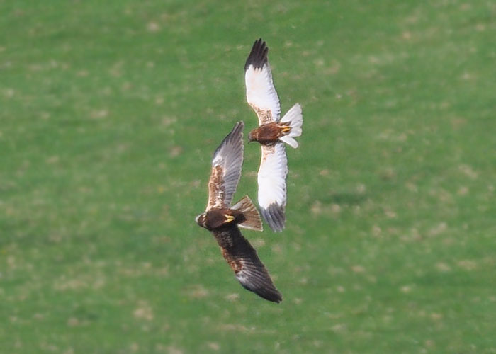 Male & Female Marsh Harriers fighting or displaying