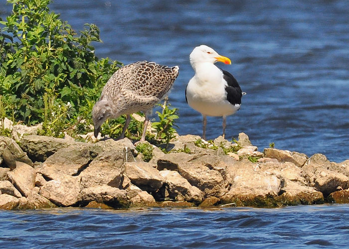Black Backed Gull with Chick