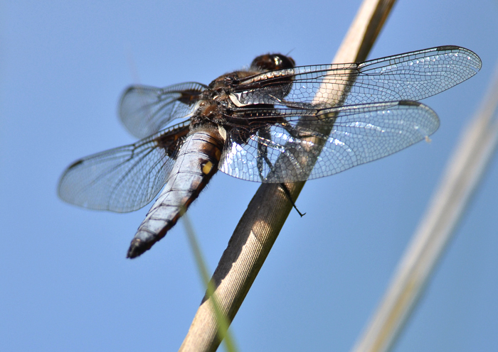 Male Broad Bodied Chaser