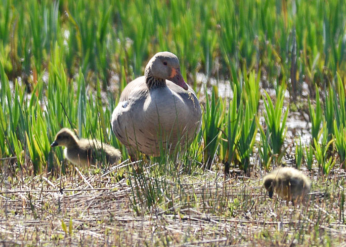 Greylag with Goslings
