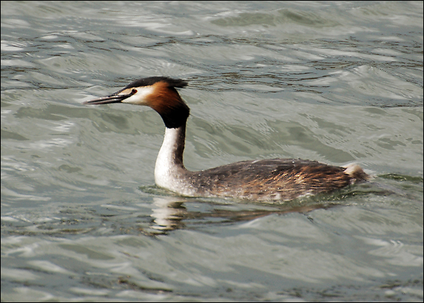 Great Crested Grebe - Rutland Water