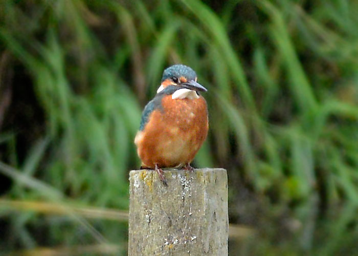 Distant Kingfisher