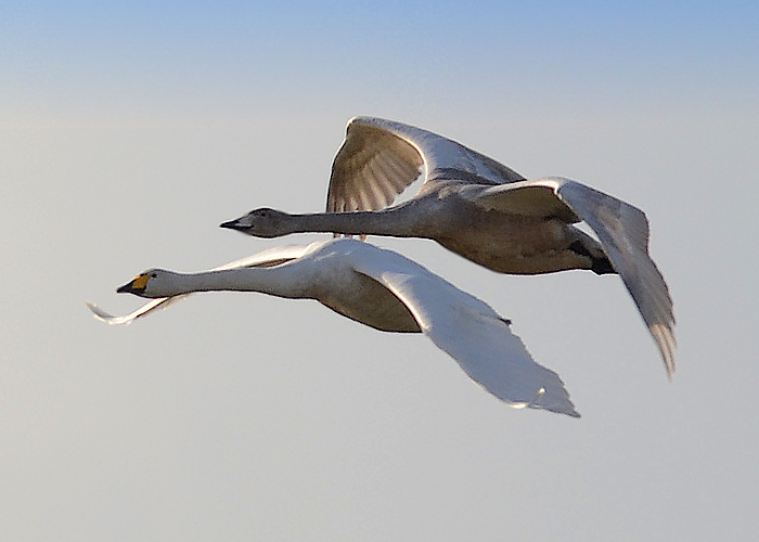 Whooper Swan with Juvenile