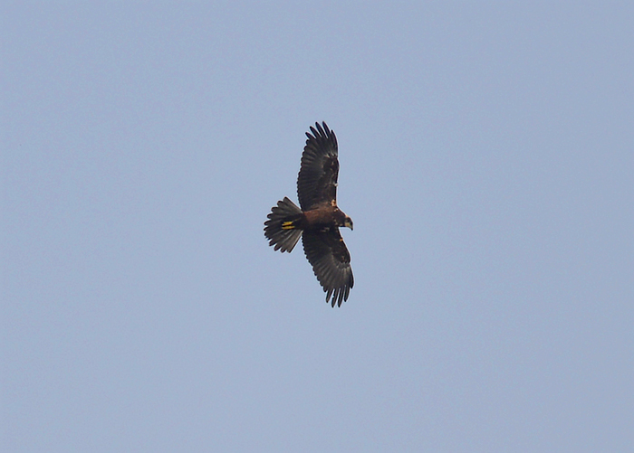 Distant Marsh Harriert