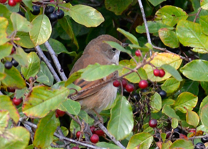 Juvenle Whitethroat