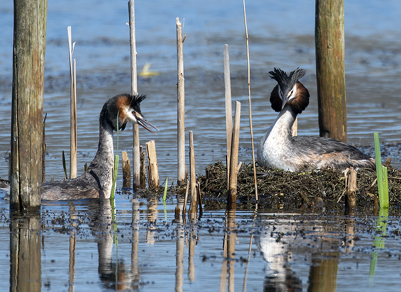 Grebes Courting