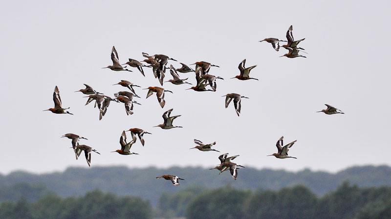 Black Tailed Godwits Flocking
