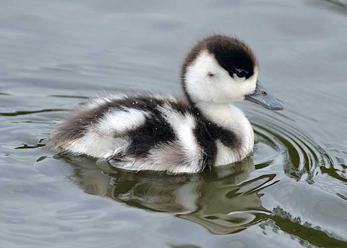 Shellduck chick