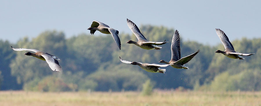 Pinkfooted Geese