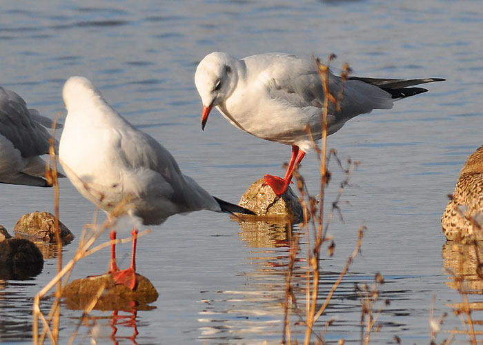 Black Headed Gull (winter plumage)
