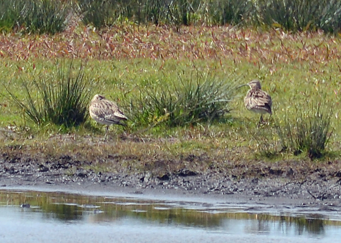 Very distant Whimbrel
