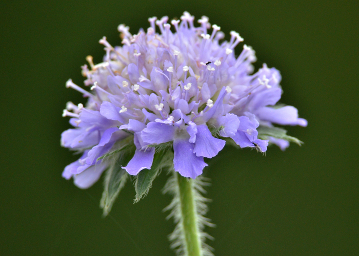 Scabious?