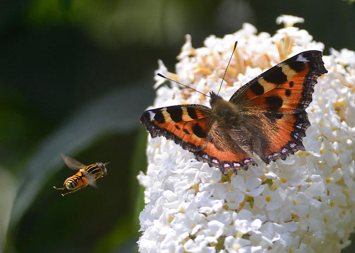 Tortoiseshell and Hoverfly