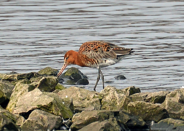 Black Tailed Godwit in Breeding Plumage