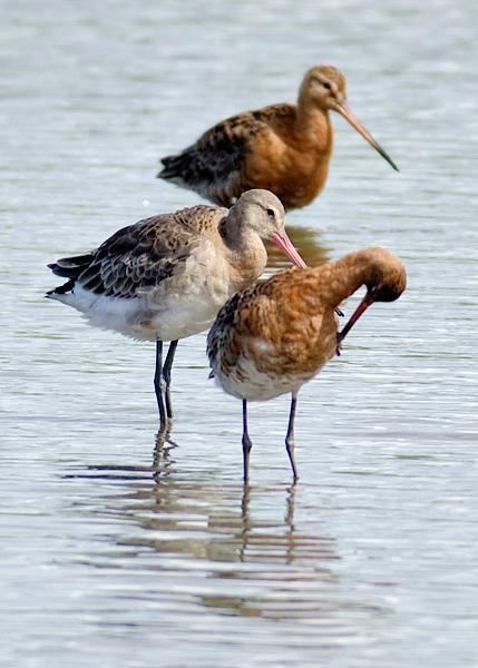 BlackTailed Godwits