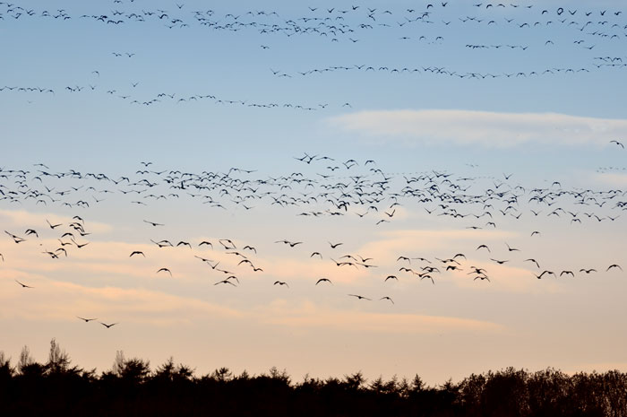 Pinkfooted Geese Migrating