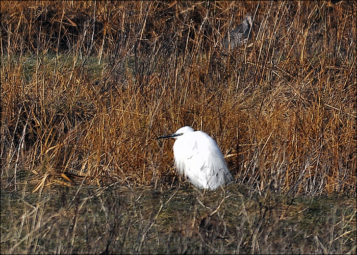 Marshside Great White Egret