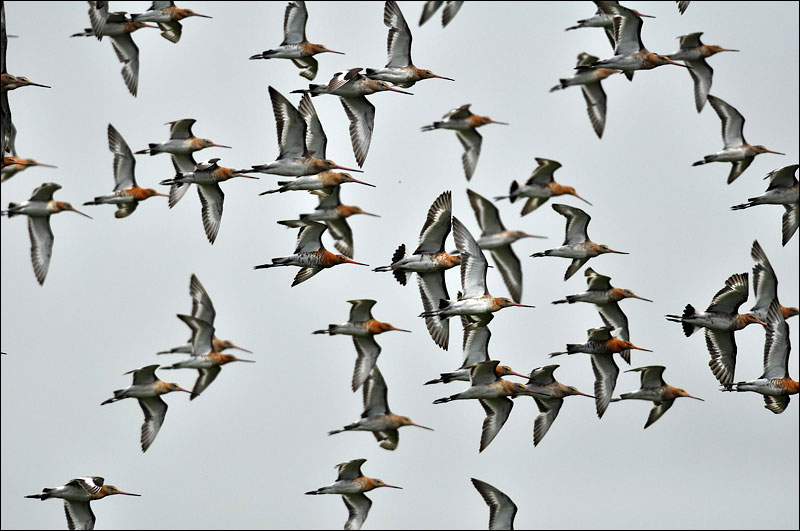 Flock of Black Tailed Godwits