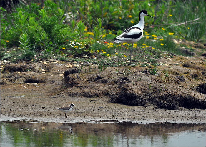 Avocet and Plover