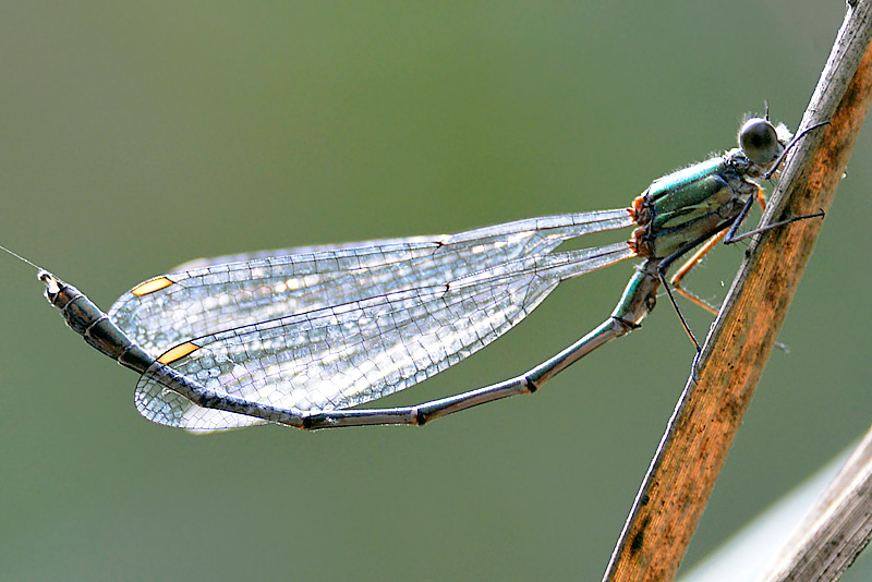 Willow Emerald Damsel Fly