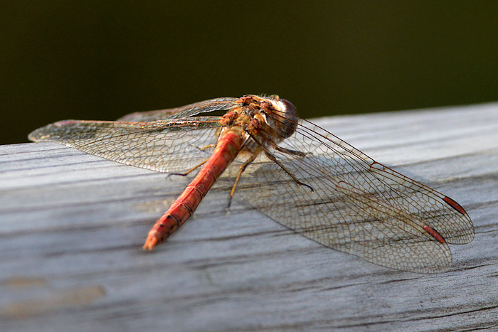 Common Red Darter
