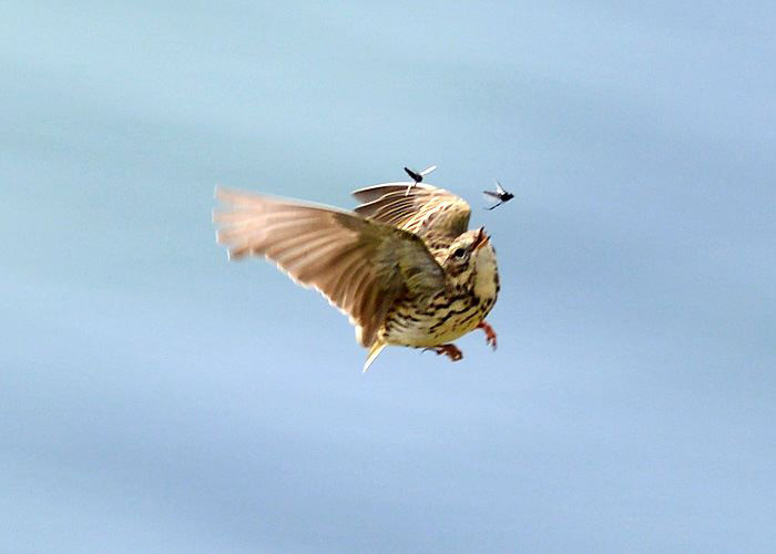Meadow Pipit catching Midges