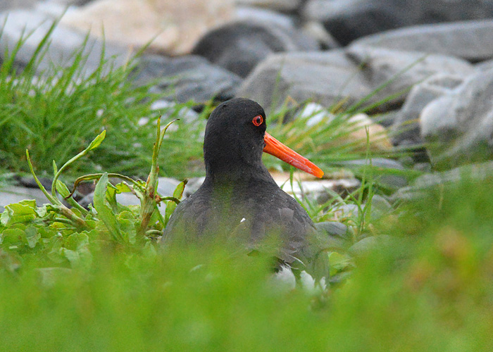 Brooding Oystercatcher